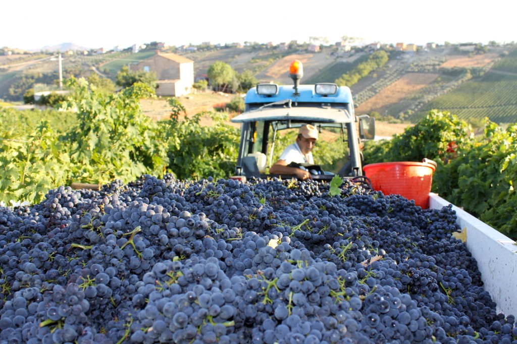 Skörd av montepulciano-druvor i Acquaviva Picena i Marche.